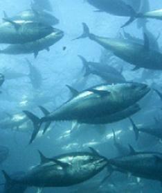 南極オキアミは大型海洋ホ乳類クジラが主食とする完全栄養食